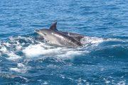 Delfines desde el velero de Faro del Sur
